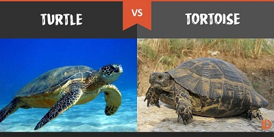 turtle-vs-tortoise-800x400