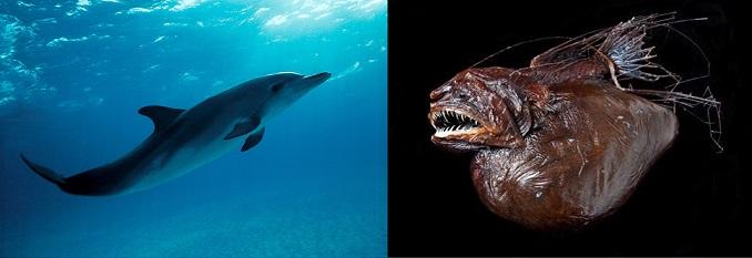 Atlantic Spotted Dolphin - Stenella Plagiodon